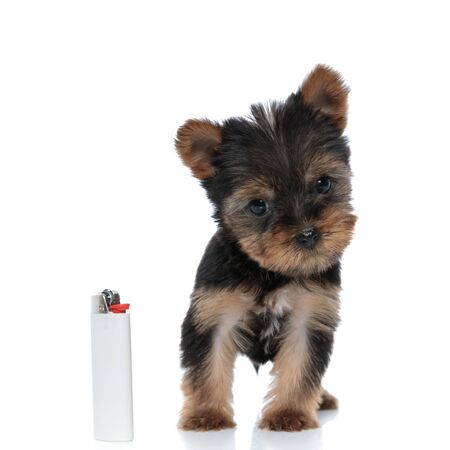 adorable yorkshire terrier looking at a lighter and standing isolated on white background