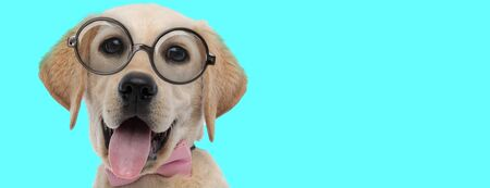 nerdy cute Labrador Retriever dog wearing pink bow tie with eyeglasses, sticking out tongue on blue background