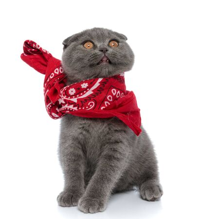 cute scotish fold kitten wearing red bandana and sticking out tongue, looking up and sitting isolated on white background Stock Photo