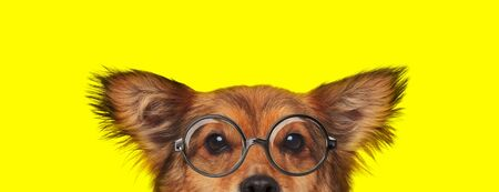 adorable metis dog wearing glasses and hiding on yellow background