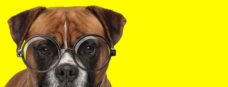 adorable brown boxer dog wearing glasses on yellow background