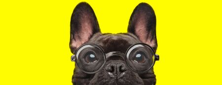 adorable french bulldog puppy with big eyes wearing glasses and hiding on yellow background