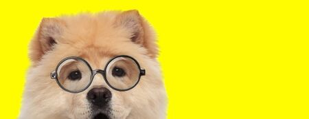 adorable chow chow dog wearing glasses on yellow background