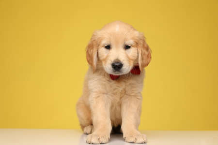 cute golden retriever puppy wearing red bowtie and looking down, sitting on yellow background Stock Photo