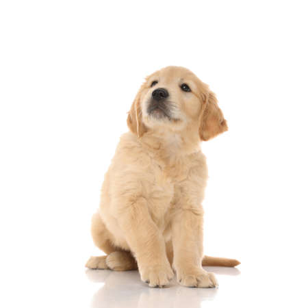 cute little golden retriever dog sitting and looking up at something, being humble and curious on white studio background 免版税图像