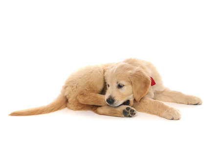 little baby golden retriever dog lying down, bowing his head, biting his leg and wearing a red bowtie on white studio background