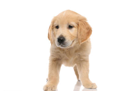 cute small golden retriever dog standing with no occupation and being bored on white studio background
