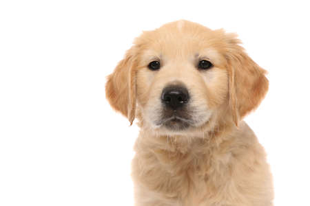 portrait of a golden retriever dog standing, looking at the camera with cute humble eyes on white studio background Foto de archivo