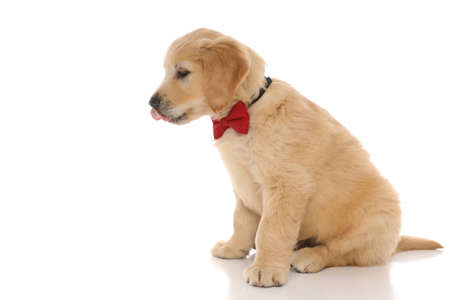 side view of a cute golden retriever dog sitting, wearing a red bowtie and licking his mouth on white studio background Banque d'images