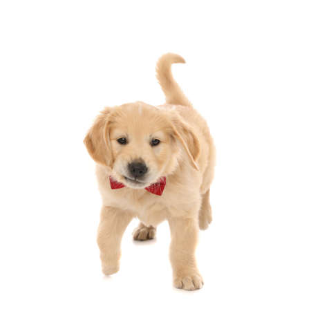 cute little golden retriever dog sniffing something, wearing a red bowtie and walking on white studio background