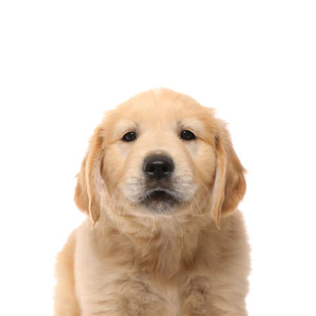 portrait of a golden retriever dog with cute face standing and looking at the camera on white studio background