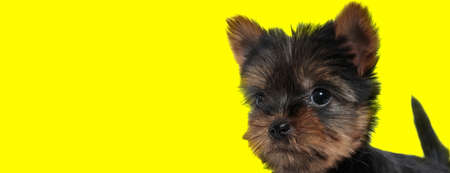 Dutiful Yorkshire Terrier being focused and eager on yellow studio background