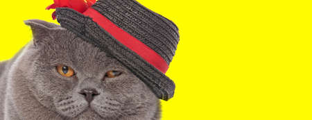 Scottish Fold cat wearing hat and being bothered yellow studio background