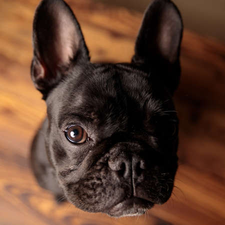 cute french bulldog puppy looking up and begging for attention on wooden floor