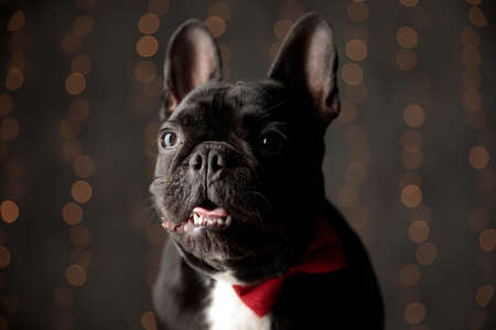 cute frenchie puppy wearing bowtie, looking to side and sticking out tongue on lights background