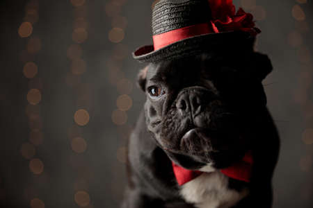 unhappy french bulldog dog wearing hat and bowtie, looking to side and sitting on lights background