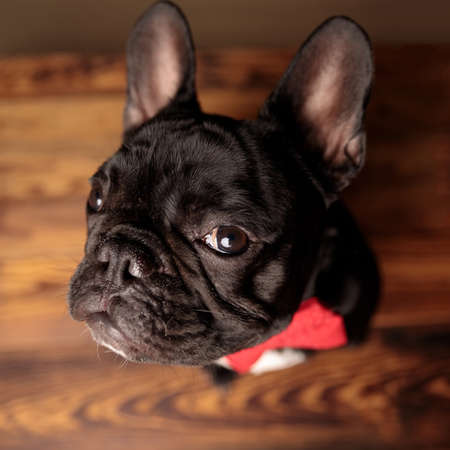 adorable frenchie dog wearing red bowtie and looking up, sitting on wooden floor