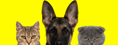 team of three animals consisting of a metis cat, german shepherd dog and Scottish Fold cat are standing next to each other with no occupation on yellow background