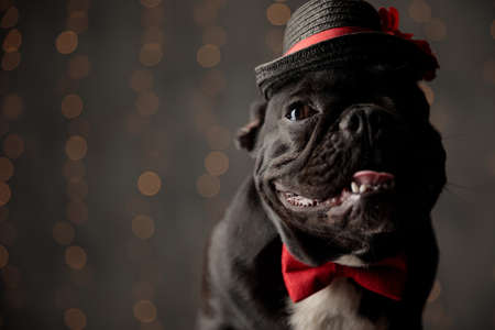 happy frenchie dog wearing red bowtie and hat, looking to side, sticking out tongue and panting on lights background Stockfoto