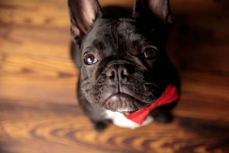 adorable french bulldog puppy wearing bowtie, looking up and sitting on wooden floor