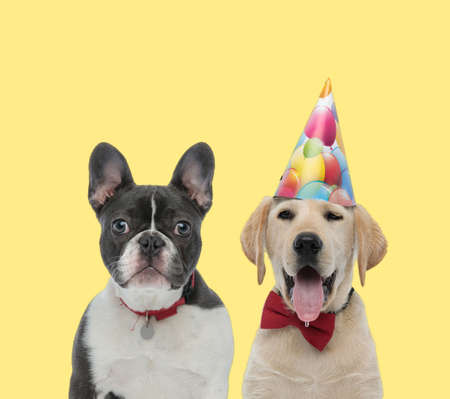 cute french bulldog dog wearing red collar next to a labrador retriever dog wearing bowtie and birthday hat happy on yellow background