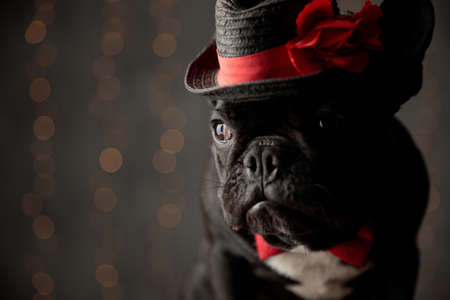 scared french bulldog puppy wearing hat and bowtie, looking to side on lights background Stockfoto