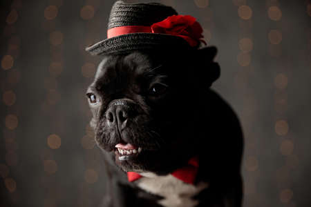 adorable frenchie dog wearing red bowtie and hat, looking to side, sticking out tongue and panting on lights background