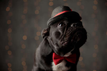 curious french bulldog puppy wearing red bowtie and hat, looking up on lights background
