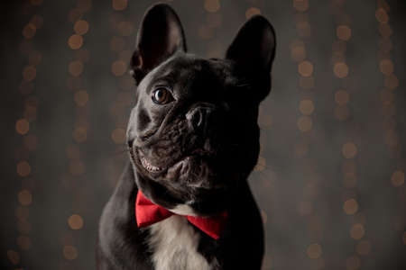 cute french bulldog dog wearing red bowtie, looking to side and sitting on lights background Stockfoto