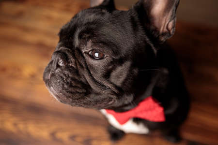 cute french bulldog dog wearing red bowtie and looking to side, sitting on wooden floor Stockfoto