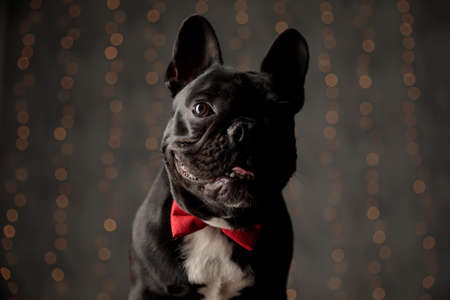 curious frenchie puppy wearing red bowtie, looking to side and sticking out tongue on lights background