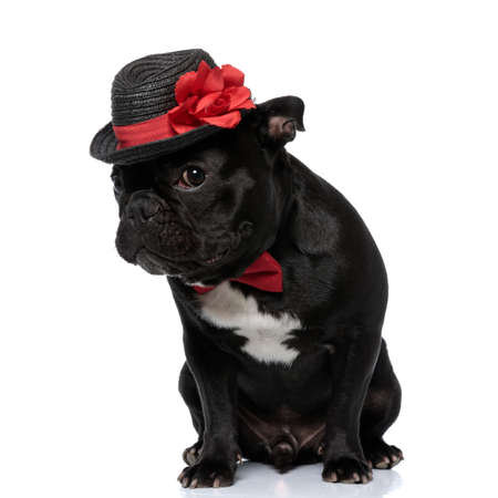 Shy French Bulldog puppy wearing bowtie and decorated hat, sitting on white studio background