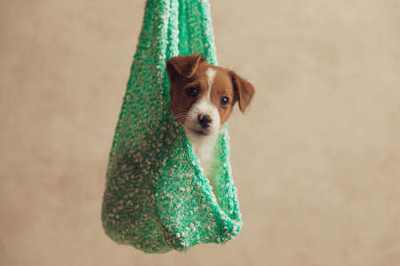 little jack russell terrier dog seated in a hanging cloth, looking away and being fascinated of what he sees