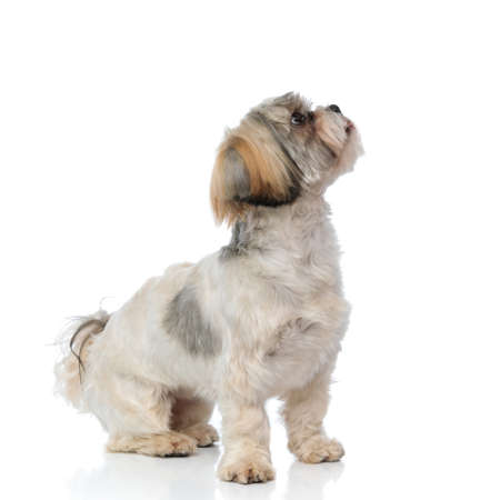 Side view of a eager Shih Tzu puppy being focused while sitting on white studio background