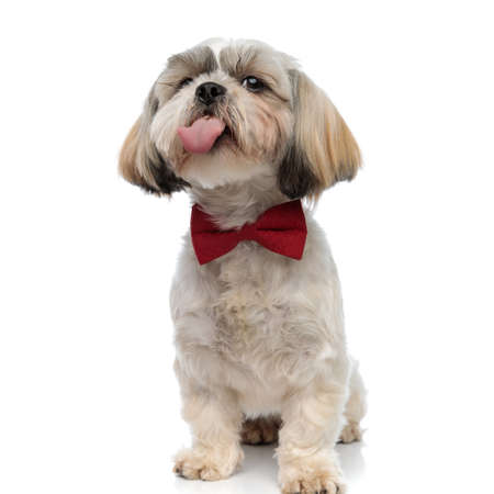 Happy Shih Tzu puppy panting and begging, wearing bowtie while sitting on white studio background