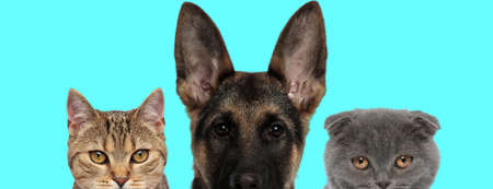 German Shepherd dog, metis cat and Scottish Fold cat are looking at camera with half of face covered on blue background
