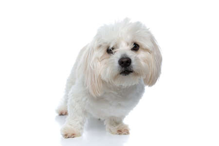 adorable bichon dog looking through his hair at the camera, standing on white background
