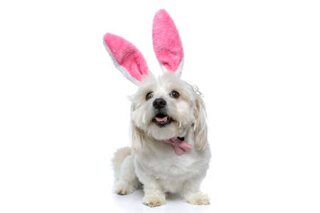 cute happy bichon dog sticking out his tongue, wearing bunny ears with bowtie and sitting on white background