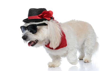 cute furry bichon dog walking aside, wearing sunglasses with a hat and bandana, sticking out tongue on white background