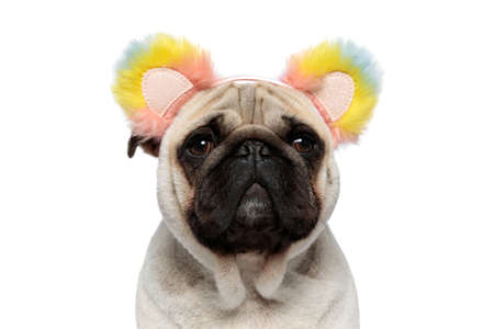 Close up of funny Pug puppy wearing headband with fluffy rainbow ears while sitting on white studio background