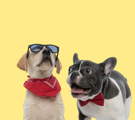 adorable labrador retriever dog posing with attitude next to a french bulldog dog panting happy on yellow background Stock Photo