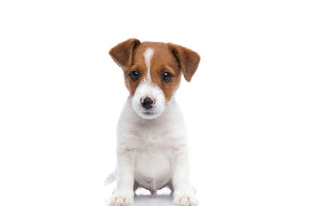 sweet little jack russell terrier dog looking deeply into the camera and sitting against white background