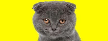Sad Scottish Fold cat being bothered and upset on yellow studio background