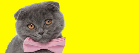Lovely Scottish Fold cat wearing bowtie and begging on yellow studio background