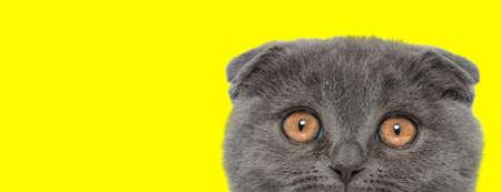 Scared Scottish Fold cat looking up shocked on yellow studio background