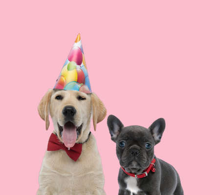team of labrador retriever and french bulldog wearing birthday hat, red bowtie and collar on pink background