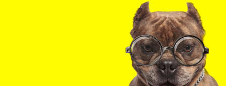 american bully dog wearing glasses and silver collar on yellow background