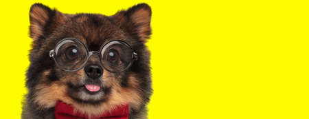 adorable pomeranian spitz dog wearing red bowtie and glasses, sticking out tongue and panting on yellow background Imagens