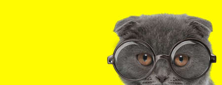 shy scottish fold kitty with big eyes wearing glasses and hiding on yellow background Imagens