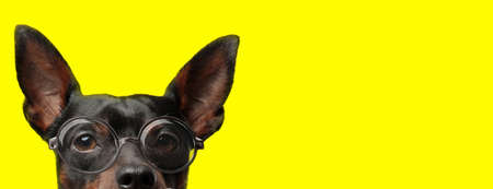 suspicious pincher dog wearing glasses and hiding on yellow background